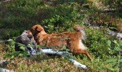 Jagdprüfung in Schweden: Apportieren einer Graugans